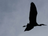 Great Blue Heron, silhouette