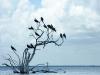 frigate-birds