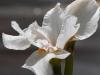 white-iris-800x533
