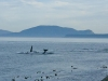 Orcas (killer whales) swim by East Point, Saturna island, BC