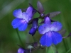 Blue-eyed-Mary 2 (collinsia-parviflora)
