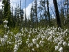 Cotton-grass (Eriophorum angustifolium)