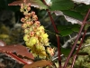 Dull Oregon Grape (Mahonia nervosa)