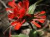 Indian Paintbrush (Castilleja)