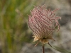 Seedhead of  Western Anemone (Anemone occidentalis)