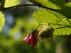 Salmonberry Blossom and Fruit (Rubus spectabilis)