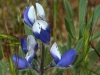 Small-flowered Lupine (Lupinus bicolor)