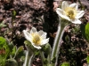 Western Anemone (Anemone occidentalis)