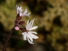 Woodland Star (Lithophragma parviflorum)