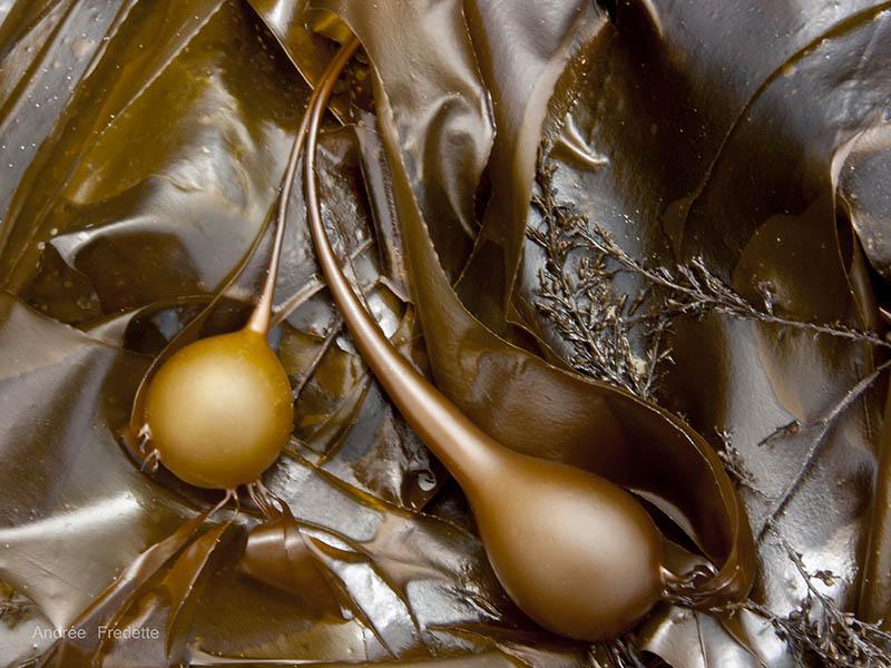 "Elegant Duo - Bull Kelp. Photo printed on aluminum 24 x 18"". Private Collection"