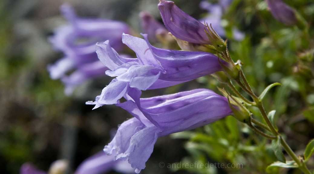 Penstemon, a BC wildflower. Photo © Andrée Fredette