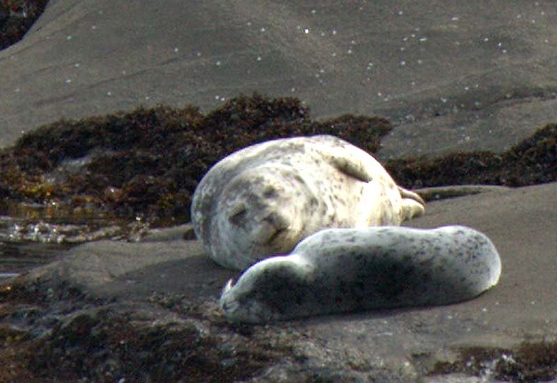 Seal Mum and her pup, Saturna Island, BC