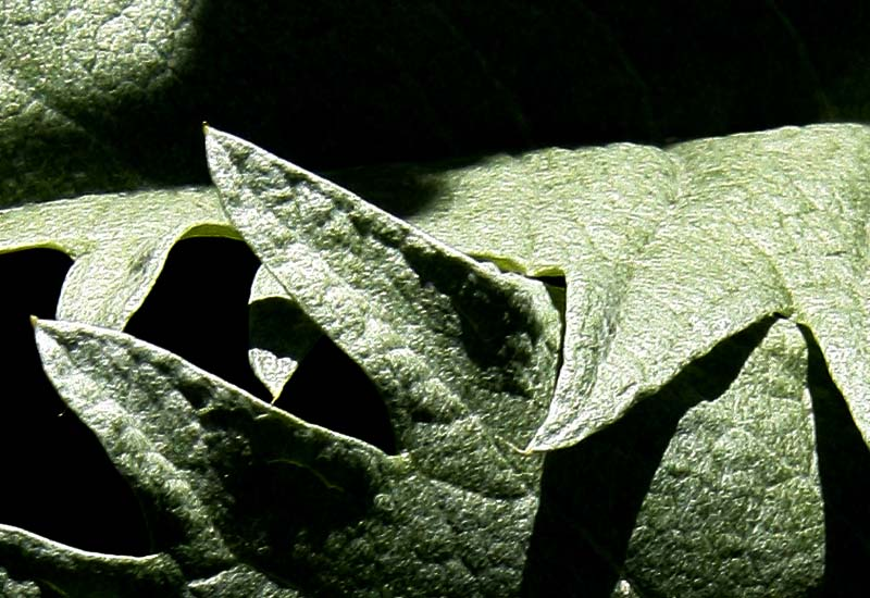 Cardoon Leaf Detail