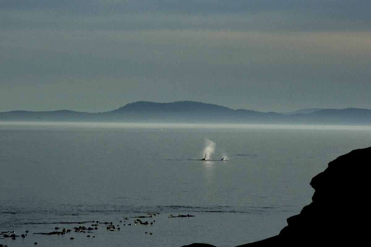 Orcas at East Point, Saturna. Photo © Andrée Fredette
