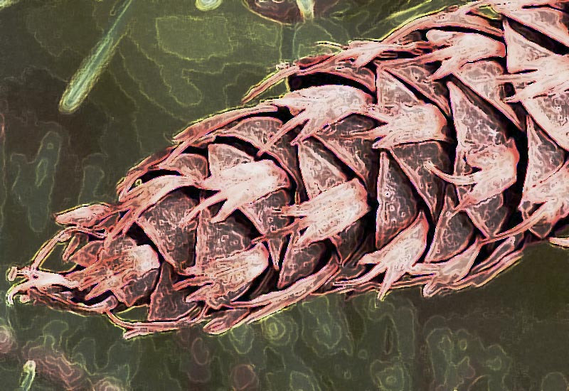 Douglar Fir Cone - Photoshop Manipulations, two filters
