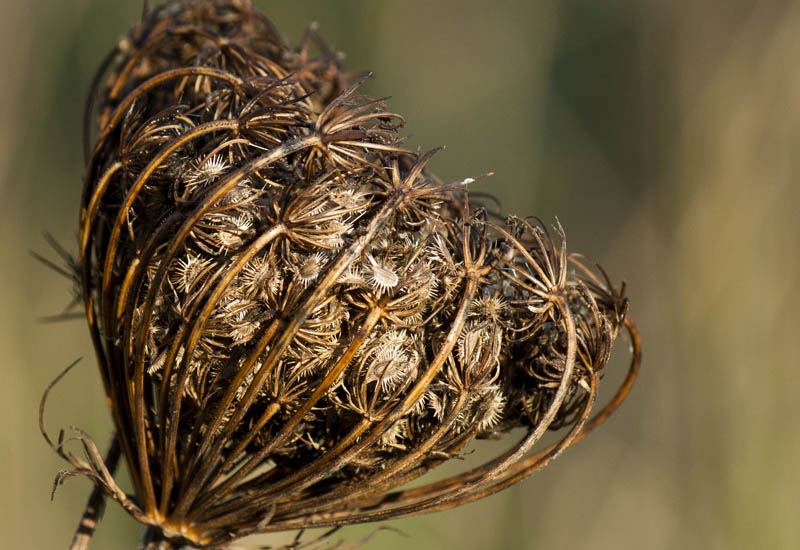 Queen Anne's Lace Seed Head on the Beach. Photo  ©  Andrée Fredette