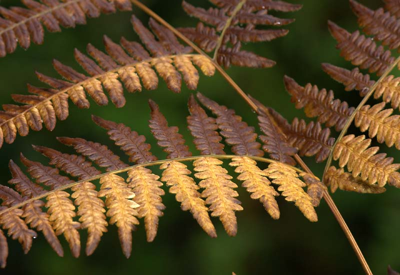 Bracken Fern, Starting to brown in late fall
