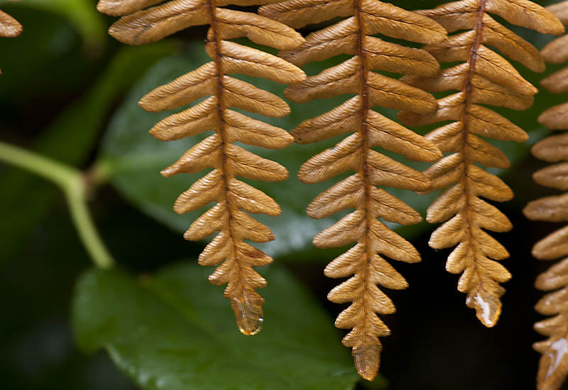 Bracken Fern, Fall