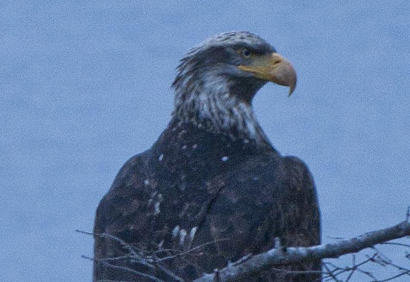 Immature Bald Eagle (Haliaeetus leucocephalus) Close Up