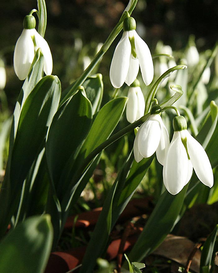 Snowdrops (Galanthus), blooming in January