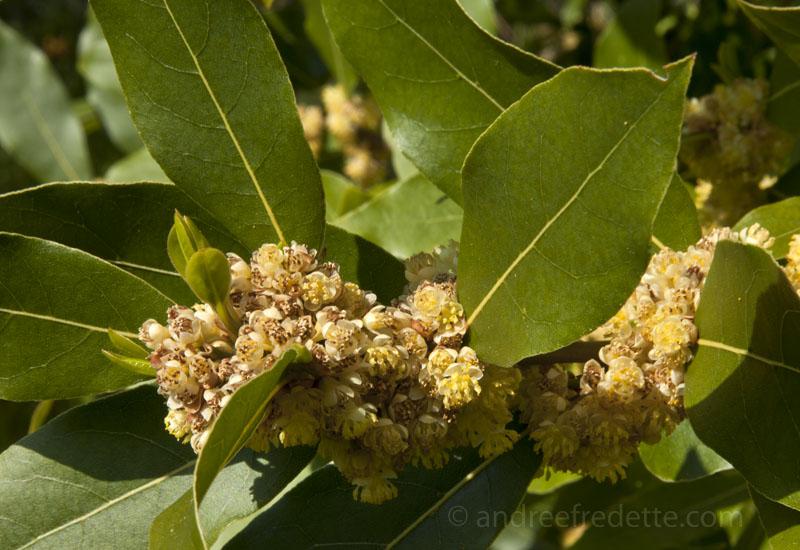 Bay laurel (laurus nobilis) in bloom
