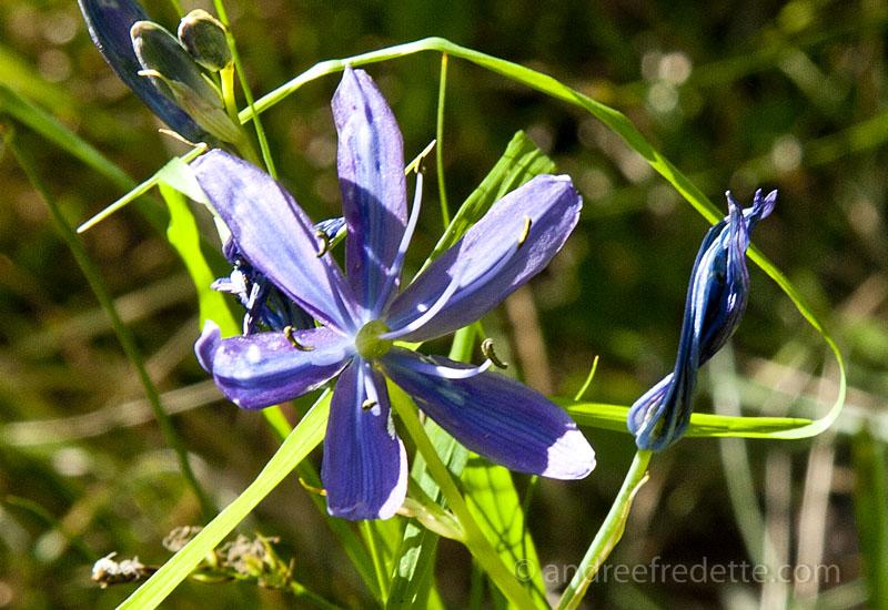 Camas lily (camassia quamash)