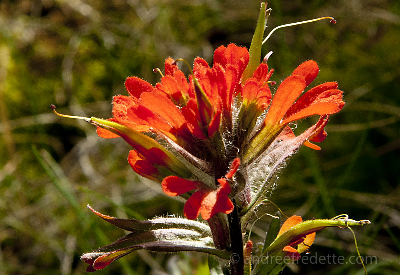 Indian paintbrush, castillejia, wildflower, BC coast