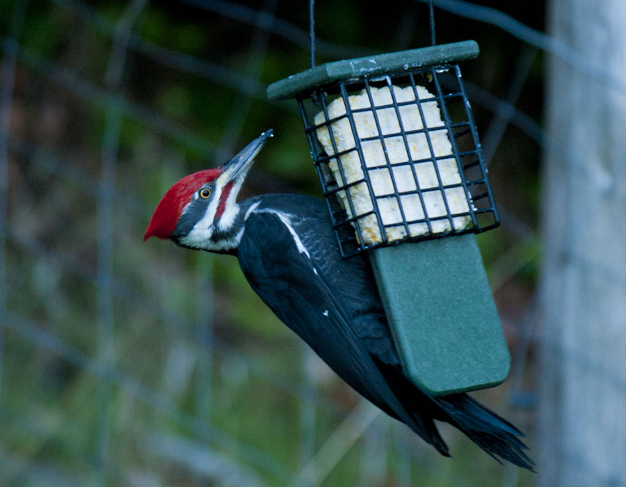 Pileated woodpecker on a suet feeder, Saturna Island, BC