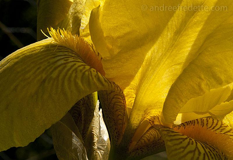 Iris mystery