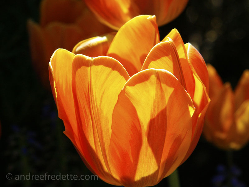 Tulip glory, in the late spring afternoon light