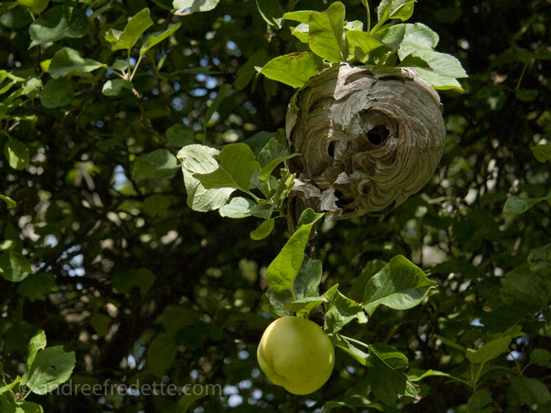 Apples and wasp nest