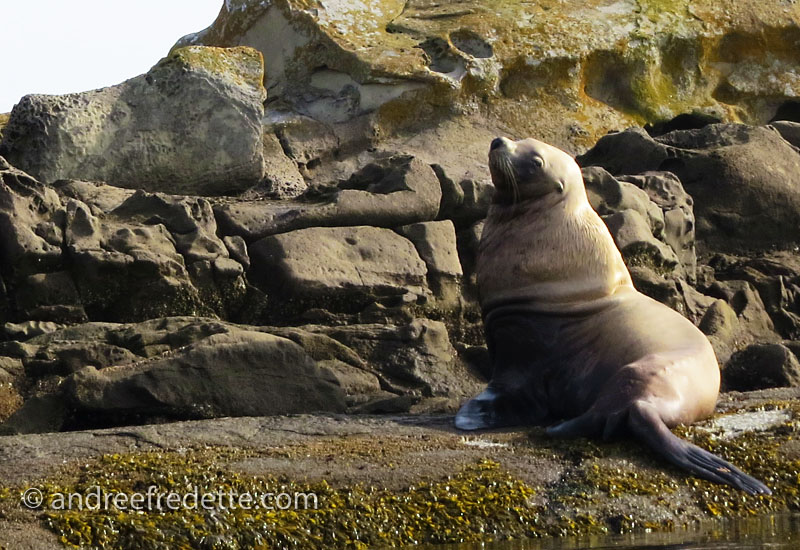 Steller Sea Lion bull, Belle Chain Islets, BC