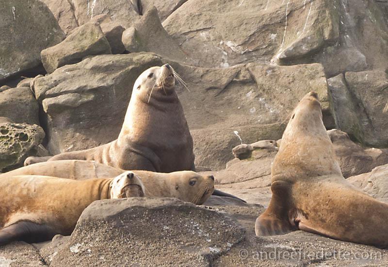 Steller Sea Lion2