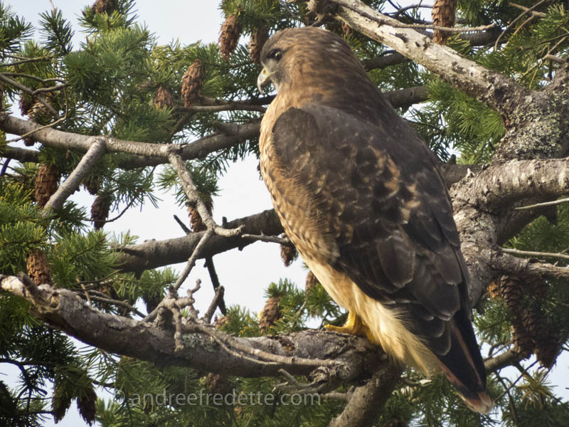 Red-tailed hawk November 2014