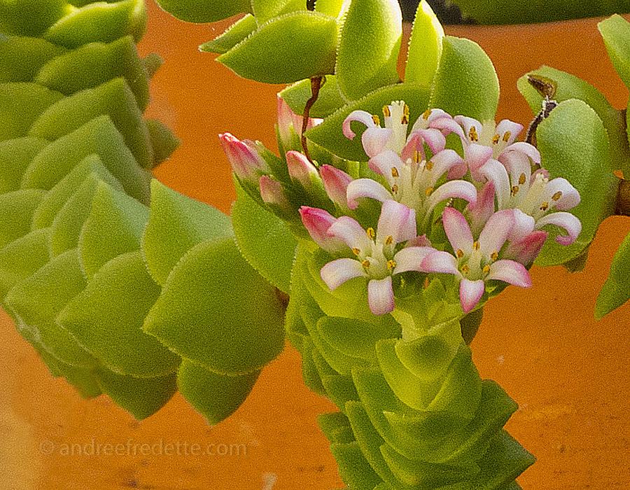 Succulent 2 Bloom WLS