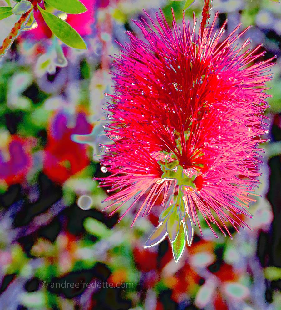 Bottlebrush bloom, filter play. Photo  © Andrée Fredette