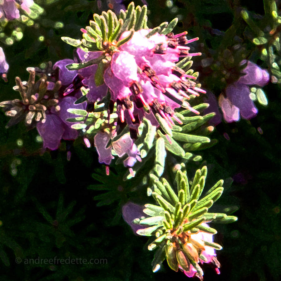 Winter-flowering Heather in February, coastal BC. Photo © Andrée Fredette