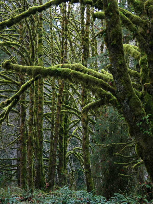 Mossy Forest Lines WL