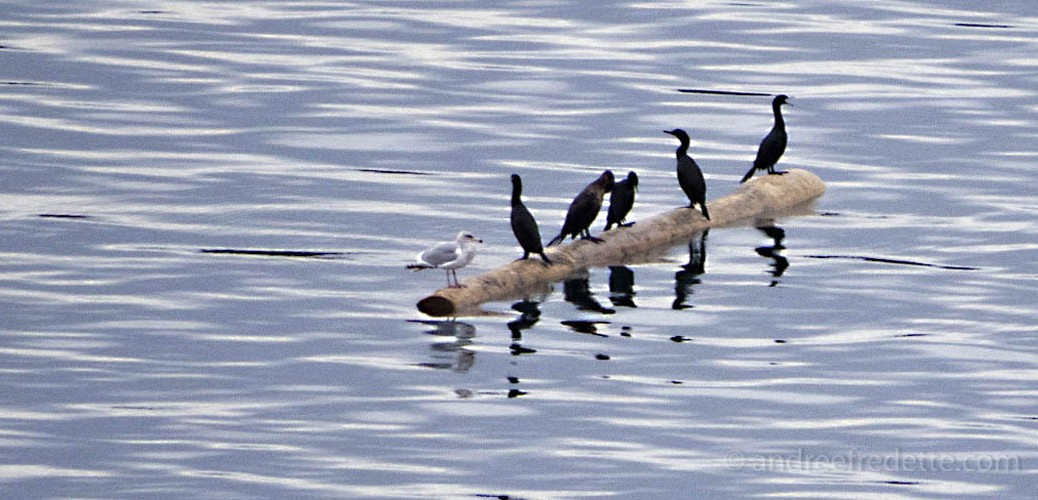Five cormorants and a sea gull, waiting for the ferry.Photo © Andrée Fredette