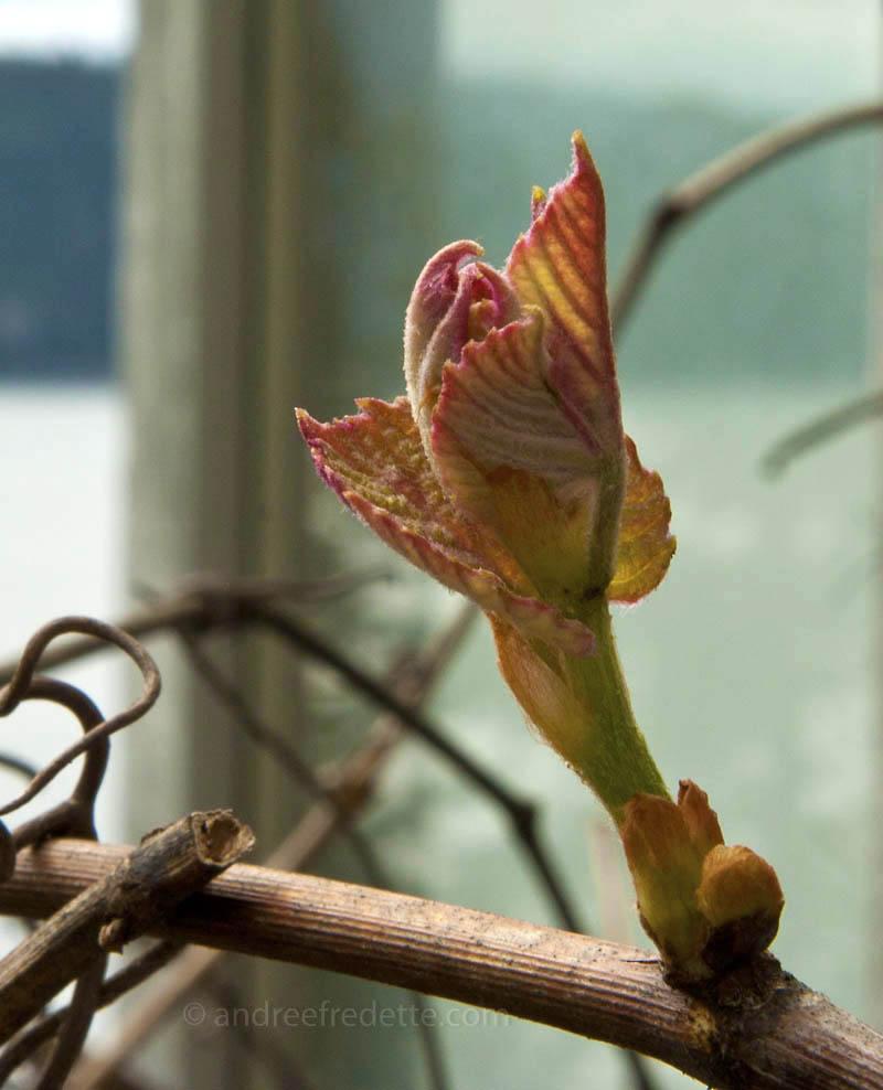 Grape Leaves unfurling. Photo © Andrée Fredette