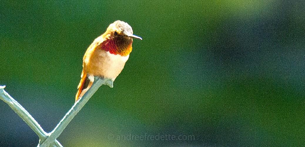 Rufous Hummingbird. Photo © Andrée Fredette