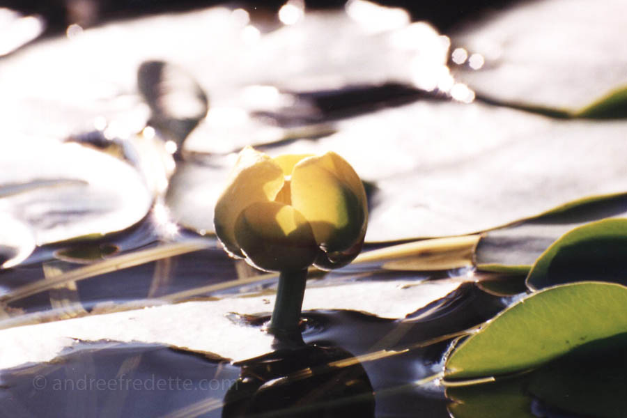 Water Lily on Little Kennisis Lake, Ontario. Photo © Andrée Fredette