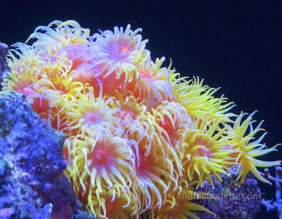 Souther Pacific coral. Photo © Andrée Fredette