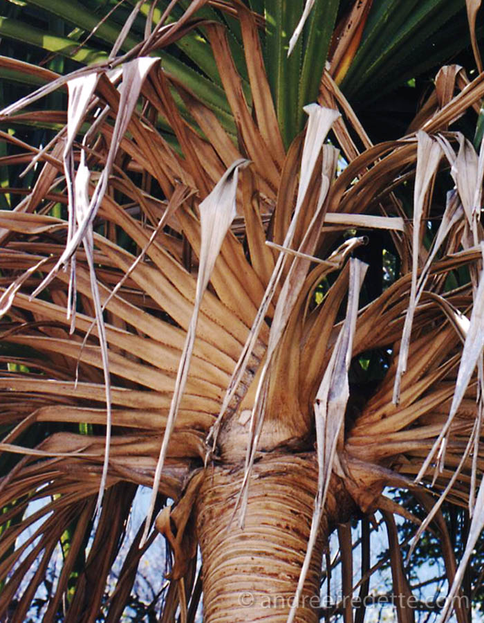 Australia Palm Texture. Photo © Andrée Fredette