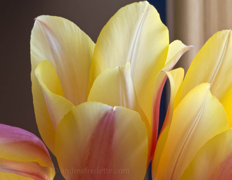 Blushing Beauty tulips. Photo © Andrée Fredette