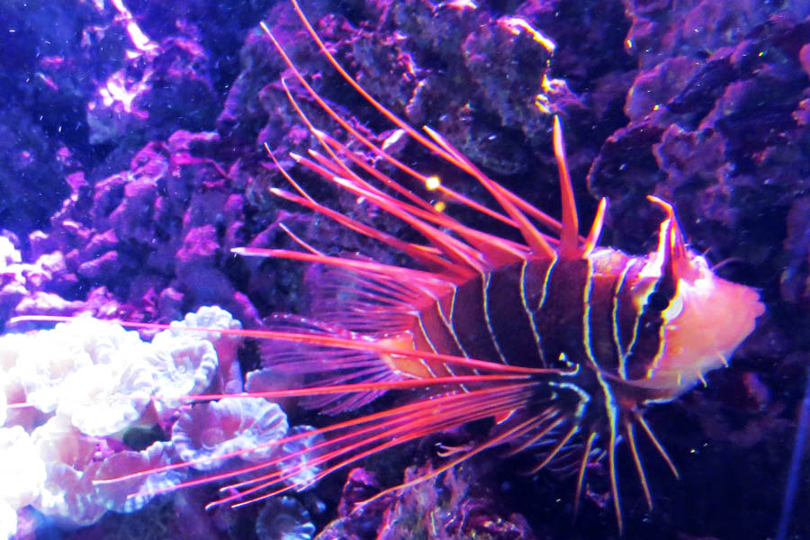 Clearfin Lionfish. Photo © Andrée Fredette