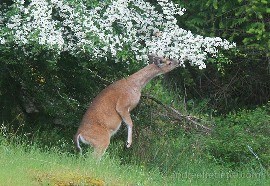 Black-tailed deer, browsing a flowering tree. Photo by Andrée Fredette