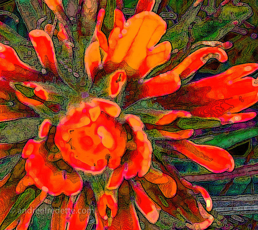 Indian Paintbrush, Abstracted. Photo © Andrée Fredette