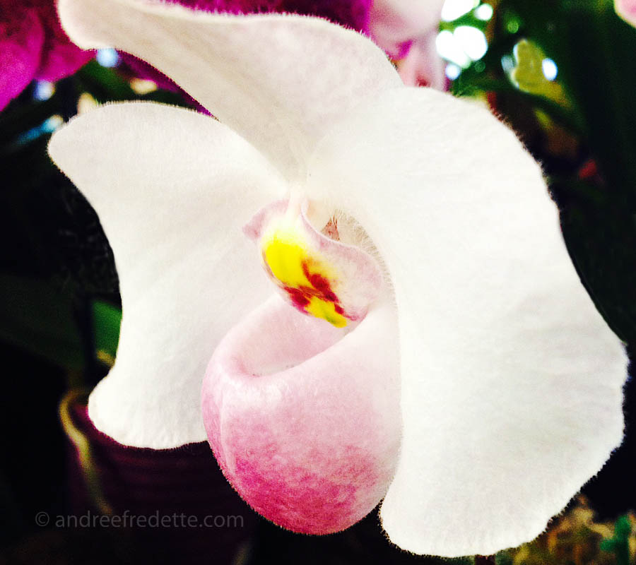 White blushing orchid. Photo by Andrée Fredette
