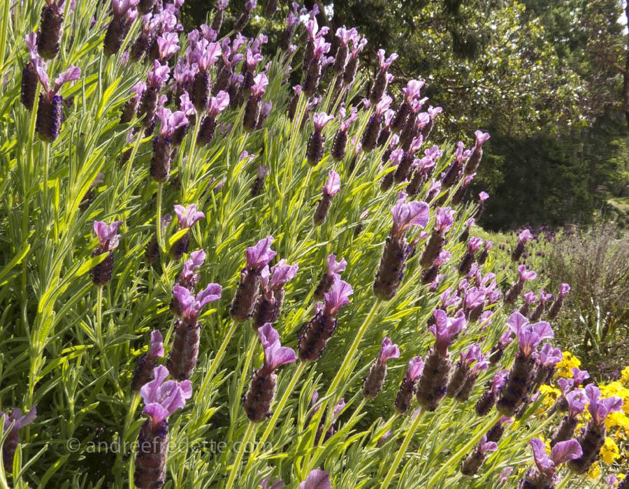 Spanish lavender (Lavandula stoechas), mature plant in lilac. Photo © Andrée Fredette